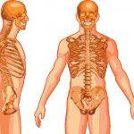 Torso Skeleton